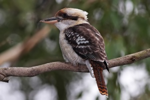 laughing_kookaburra_feb08